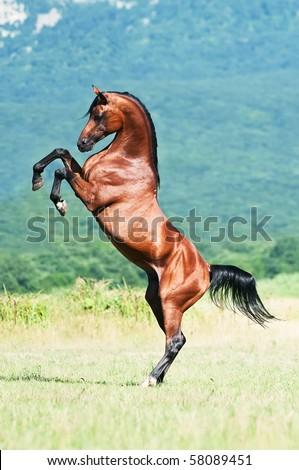 bay arabian stallion rearing - stock photo