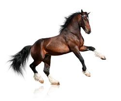 Bay big horse isolated on white background