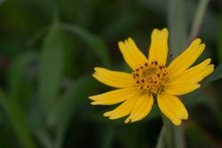 Bay Biscayne creeping-oxeye, Singapore daisy, creeping-oxeye, trailing daisy, wedelia