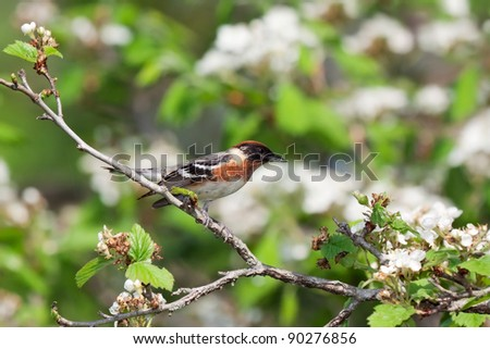 bay-breasted warbler prepares for flight from an apple tree. tree is in bloom with white flowers. background consists of shallow focus of  leaf greens and tree browns.