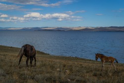 bay dark brown horse and red foal graze on grass coast, against the background of blue lake baikal, mountains and clouds
