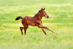 Bay foal run gallop on spring pasture