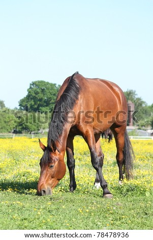 Bay horse eating grass at the field with yellow flowers