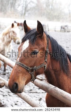 Bay horse in outdoor enclosure under light snow