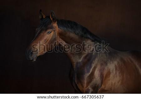Bay horse isolated on dark background #667305637