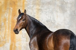 Bay horse look back isolated on light background