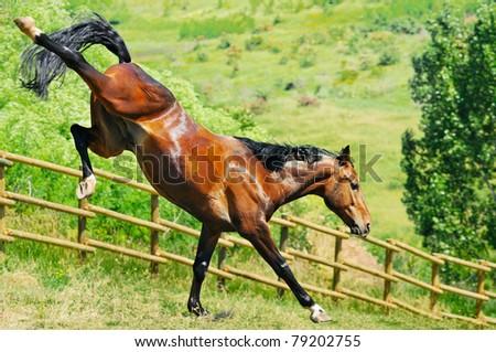 Bay horse playing