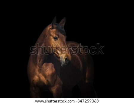 Bay horse portrait over a black background #347259368