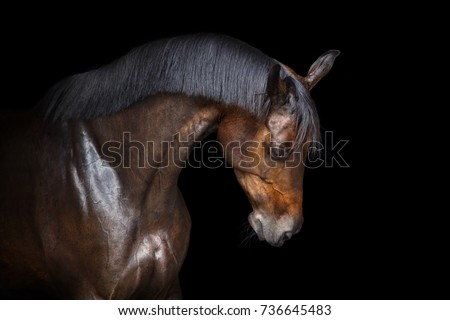 bay horse portrait with...