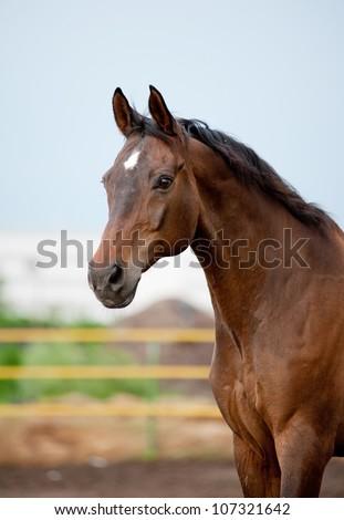 bay horse running closeup