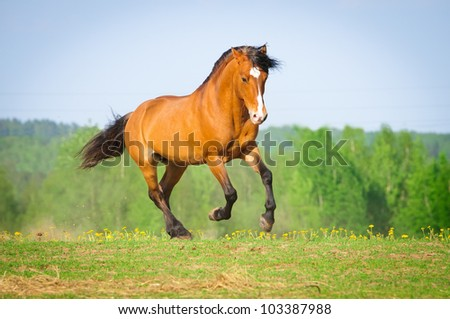 Bay horse runs gallop in summer time