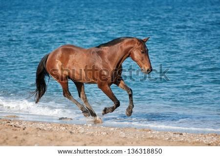 Bay horse runs gallop on the beach - stock photo