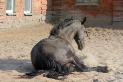 Bay horse. The horse is lying in the sand. Sports horse. The horse is resting next to the stable. The horse's mane is braided.