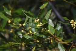 Bay laurel (Laurus nobilis) flowers / Laureaceae evergreen tree.