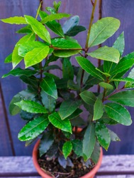 Bay leaf bush in a flower pot, in the street after the rain