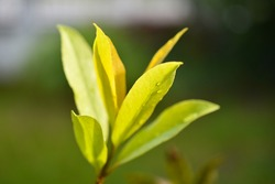 bay leaf ,evergreen bay laurel is a fragrant herb used cooking and stop  the fishy smell in food blooming in the garden