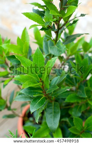 bay leaf growing