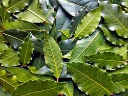 Bay leaf or laurel (laurus nobilis) pattern texture background. Organic fresh green bay leaves from laurel farm garden. Indian spice bay leaf tree or bayleaf as ingredient in food - raw leaves pattern