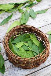 Bay leaf or laurel (laurus nobilis) spice background. Organic fresh green bay leaf from laurel farm garden.
