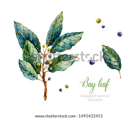 Bay leaf. Watercolor laurel. Herbs. Watercolor botanical hand drawn illustration. Black pepper