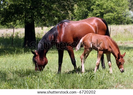 Bay mare and foal grazing