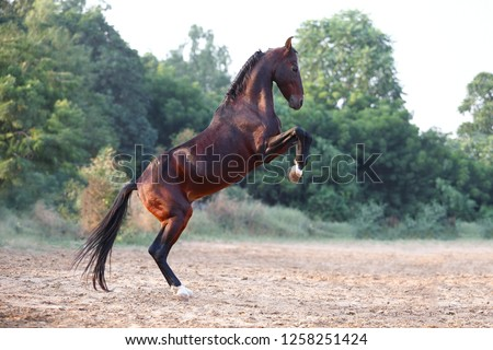 bay marwari stallion on rack #1258251424