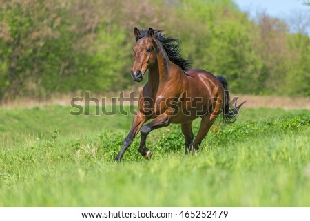 Bay purebred horse running in a meadow.