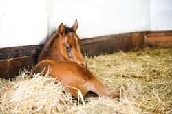 Bay thoroughbred colt in his stall
