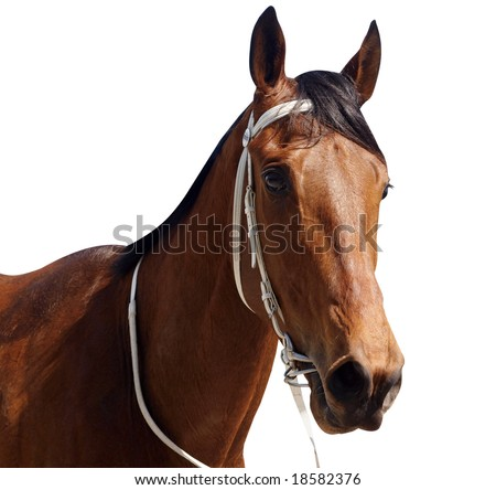 Bay Thoroughbred isolated with clipping path