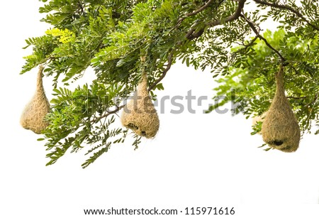 Baya weaver bird nest at a branch of the tree
