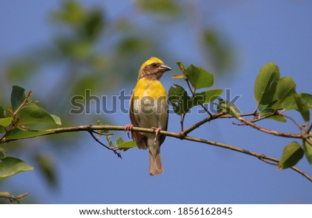 Baya weaver perching in a tree Foto stock ©