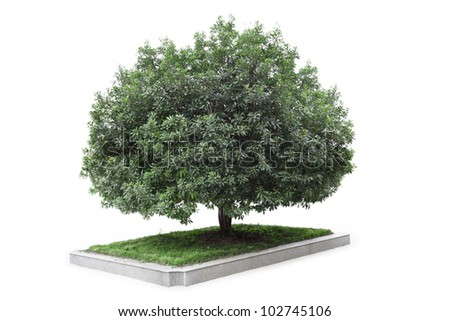 bayberry tree with white background,or waxberry tree