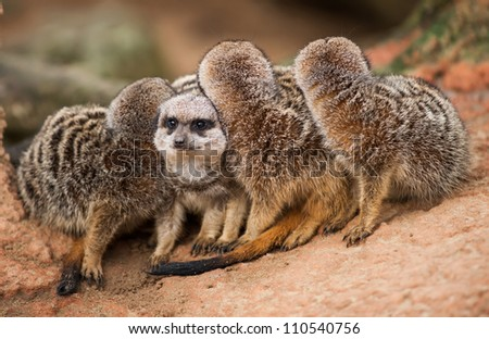 Be different: group of meerkats looking out. Animals in Africa