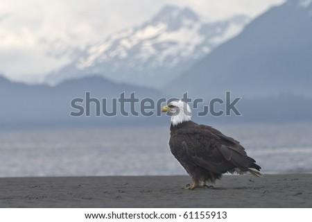 Beach Break - A bald eagle takes a break on the beach in Homer, Alaska.