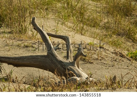 Beach driftwood on grassy sand dunes