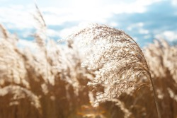 Beach dry grass, reeds, stalks blowing in the wind at golden sunset light, horizontal, blue sky on background. Nature, summer, grass concept. Selective soft focus.
