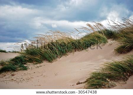 beach grass in the wind