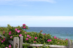 Beach Roses growing wild on the Cape Cod National Seashore