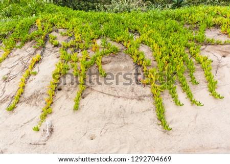 Beach sand dunes with aloe plants bush scrub vegetation landscape #1292704669