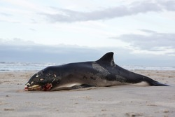 Beached whale harbor porpoise killed in an accident with a boat