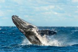 Beaching Humpback whale. Sydney, Australia.
