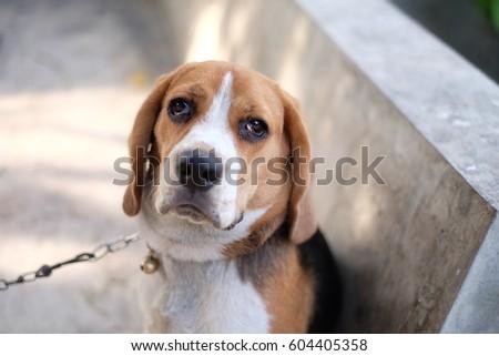 Beagle #604405358