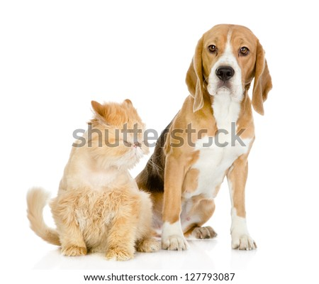 Beagle and persian cat. looking at camera. isolated on white background