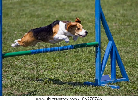 Beagle bitch exercising in an agility competition