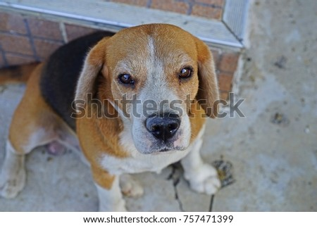 beagle dog, a breed of small hound #757471399