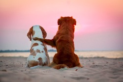 Beagle dog and nova scotia duck tolling retriever friends watching the sunset on a beach at the seaside. Two dogs hugging together.