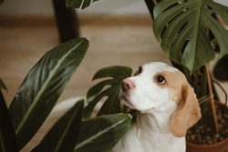 beagle dog and potted flowers