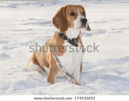 beagle dog for a walk in the forest with snow