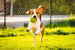Beagle dog fun in garden outdoors run and jump with ball towards camera. Sunny day in garden