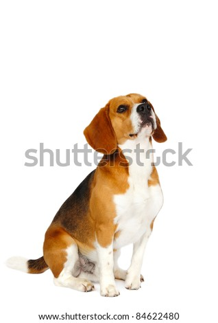 Beagle dog in studio on a white background